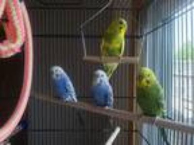 Adopt Vinny, Johnny, Eric, and Turtle a Parakeet - Other bird in Aurora
