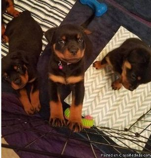 Super clean soft both male and female Rottweiler puppies ready