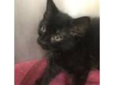 Adopt Huckleberry a Domestic Short Hair