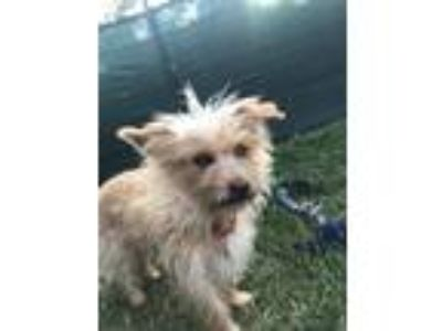 Adopt Misty a Tan/Yellow/Fawn Terrier (Unknown Type, Small) / Mixed dog in