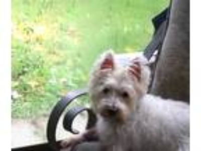 Adopt Mookie and Melvin a West Highland White Terrier Westie