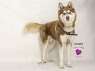 Adopt ROBIN a Red/Golden/Orange/Chestnut - with White Husky / Mixed dog in