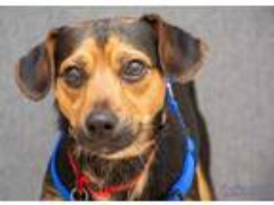 Adopt Altair a Black Terrier (Unknown Type, Small) / Mixed dog in Hamilton