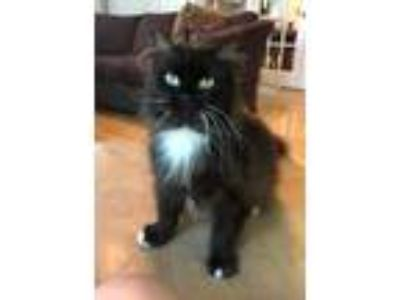 Adopt Shisa a Black & White or Tuxedo Domestic Longhair / Mixed (long coat) cat