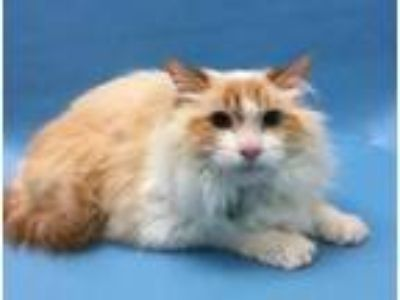 Adopt Pheona a Orange or Red Siamese / Domestic Shorthair / Mixed cat in Coon
