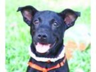 Adopt Bridget a Black Labrador Retriever / Terrier (Unknown Type