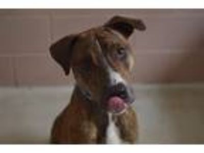 Adopt Kirby a Hound (Unknown Type) / Mixed dog in Birmingham, AL (25819167)