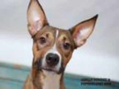 Adopt DUCK a Pit Bull Terrier, Mixed Breed