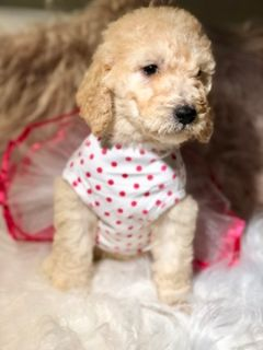 Goldendoodle PUPPY FOR SALE ADN-90970 - Layla  F1b Goldendoodle