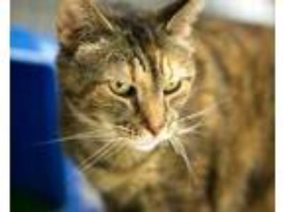Adopt Suzanne Sommers a Brown or Chocolate Domestic Shorthair / Domestic