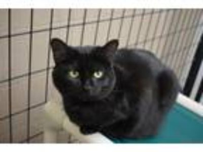 Adopt Gabriel a Domestic Short Hair