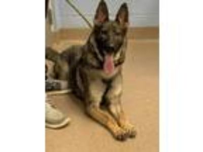 Adopt Chiquita a Tan/Yellow/Fawn - with Black German Shepherd Dog / Mixed dog in