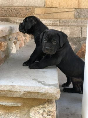 Cane Corso PUPPY FOR SALE ADN-83259 - ICCF REGISTERED CANE CORSO PUPPIES