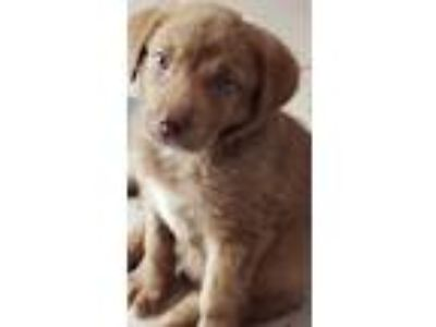 Adopt Chip a Brown/Chocolate Australian Shepherd / Labrador Retriever / Mixed