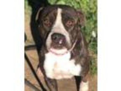 Adopt Angel(hairlipped)sweet! a Black American Pit Bull Terrier / Mixed dog in