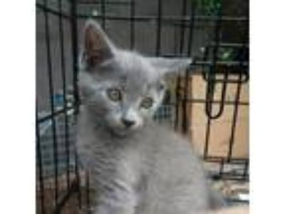Adopt Cinder a Gray or Blue Russian Blue (short coat) cat in Ocala
