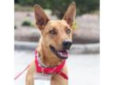 Adopt Oliver a Tan/Yellow/Fawn Labrador Retriever / Mixed dog in San Diego