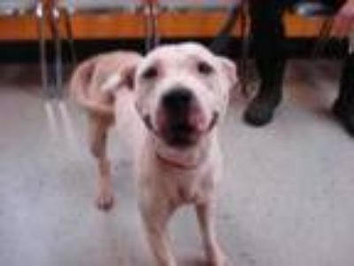 Adopt Stray- Carelwood - Avail 5-17 a White American Pit Bull Terrier / Mixed