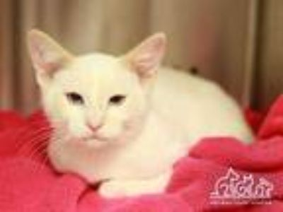 Adopt RIVER a White (Mostly) Domestic Shorthair / Mixed (short coat) cat in