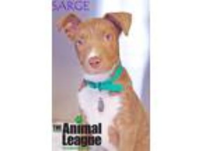 Adopt Sarge a Catahoula Leopard Dog