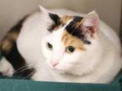 Adopt NORA a Calico or Dilute Calico Domestic Shorthair / Mixed (short coat) cat