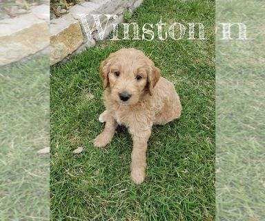 Goldendoodle PUPPY FOR SALE ADN-130998 - Goldendoodle Puppies  1 female available
