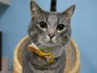 Adopt Pax a Domestic Shorthair / Mixed cat in Portland, OR (25366414)