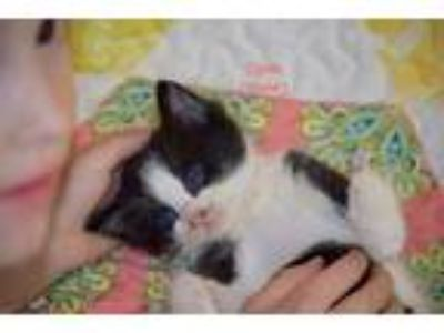 Adopt Clyde a Black & White or Tuxedo Domestic Shorthair (short coat) cat in