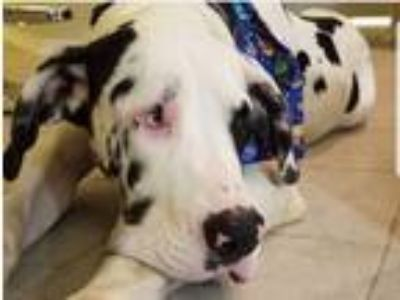 Adopt Ryle a White - with Black Great Dane dog in San Antonio, TX (25289831)