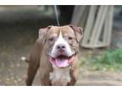Adopt George a Pit Bull Terrier, Mixed Breed