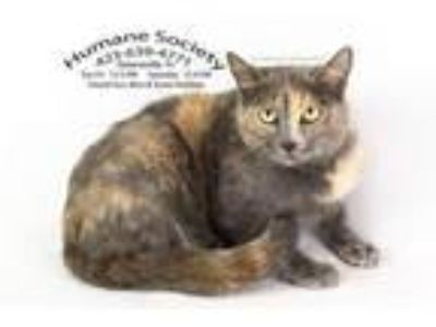 Adopt Fancy/AC 19510 B a Domestic Short Hair