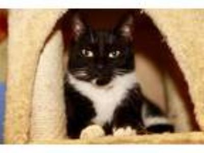 Adopt Marvin a Black & White or Tuxedo Domestic Shorthair / Mixed (short coat)