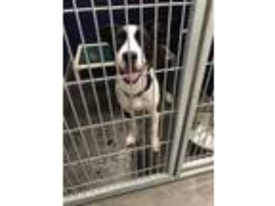 Adopt Jimmy a Husky, Mixed Breed