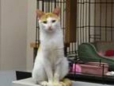 Adopt Scotchie a Orange or Red (Mostly) Domestic Shorthair / Mixed (short coat)