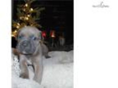Female Iccf registered cane corso puppy
