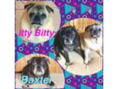 Adopt Baxter (Bonded with Itty Bitty) a Pug