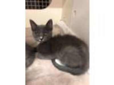 Adopt DJ a Gray or Blue (Mostly) Domestic Shorthair (short coat) cat in
