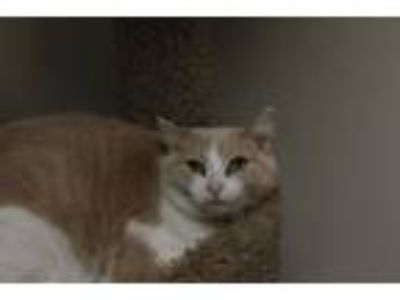 Adopt Saba a Domestic Short Hair
