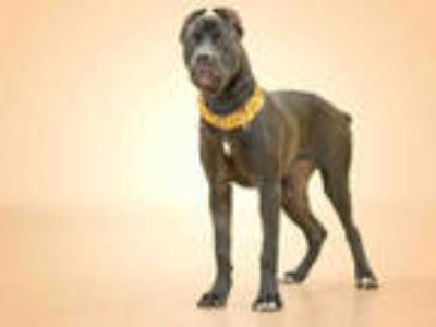 Adopt DORY a Black American Pit Bull Terrier / Mixed dog in Vero Beach