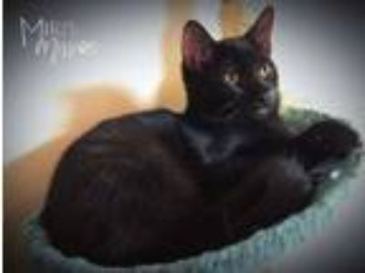 Adopt Pluto a Domestic Short Hair