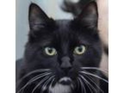 Adopt Wilder a Domestic Short Hair