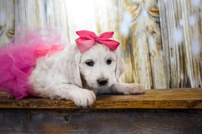 Goldendoodle PUPPY FOR SALE ADN-73372 - English Cream Goldendoodle