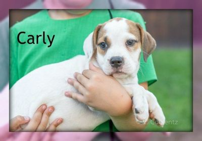 Carly: Female Beabull Puppy