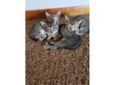 Adopt Quinn Party of 4 a Tabby