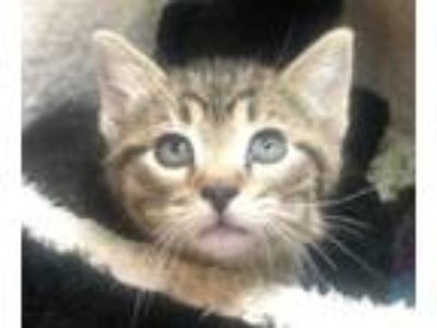 Adopt Gerbil a Domestic Short Hair
