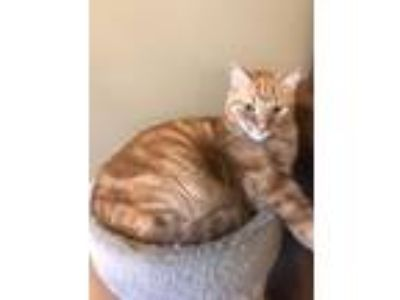 Adopt Sammy a Orange or Red Domestic Shorthair cat in Bessemer, AL (25024209)