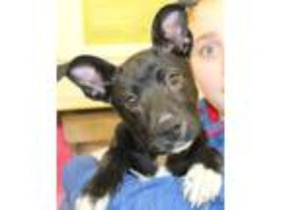 Adopt Leilani a Black - with White Cattle Dog / Mixed dog in Mohegan Lake