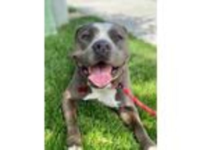 Adopt Lethwei a American Staffordshire Terrier / Cattle Dog / Mixed dog in San