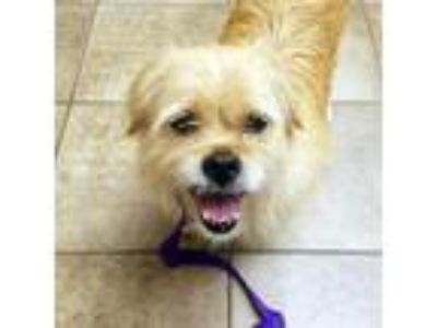 Adopt Seven a Tan/Yellow/Fawn Terrier (Unknown Type, Medium) / Shih Tzu / Mixed