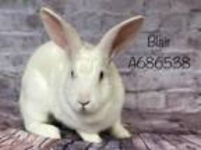 Adopt BLAIR a Bunny Rabbit